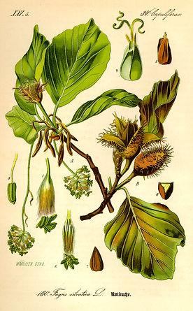 Blätter und Früchte der Rotbuche