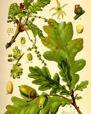 Blätter und Früchte der Eiche