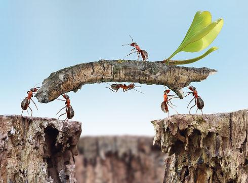 red ants building a bridge.jpg