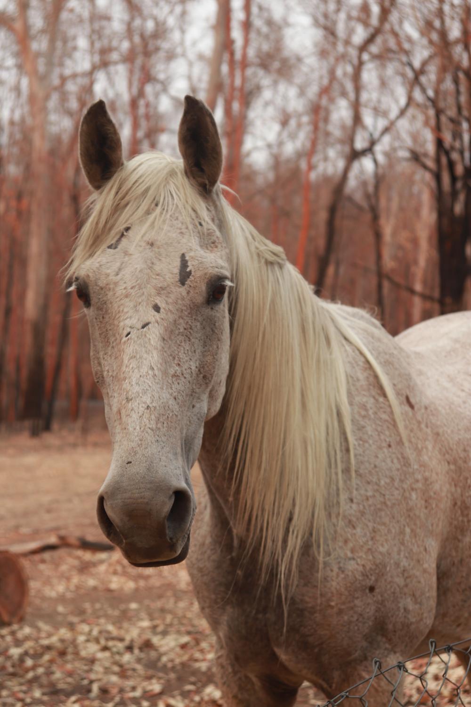 Grace and Hugh: Piano Pushers Horse in bushfire burnt trees survivor Nymboida Australia (Grace and Hugh Piano Songwriter Blog)
