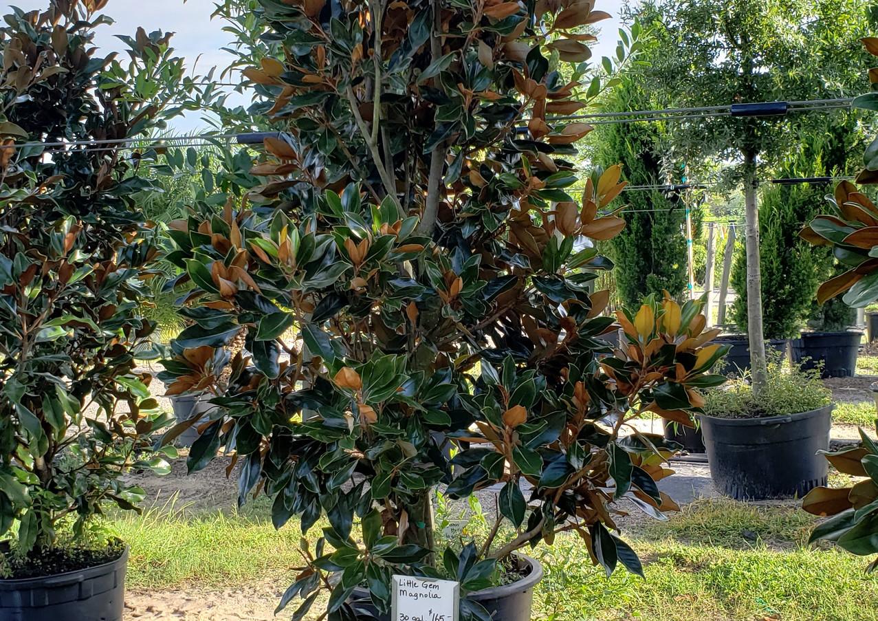 little gem magnolia.jpg
