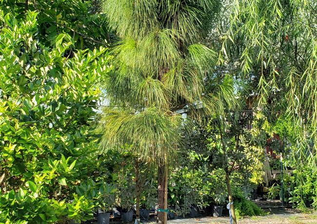 Slash Pine 30 gal.jpg