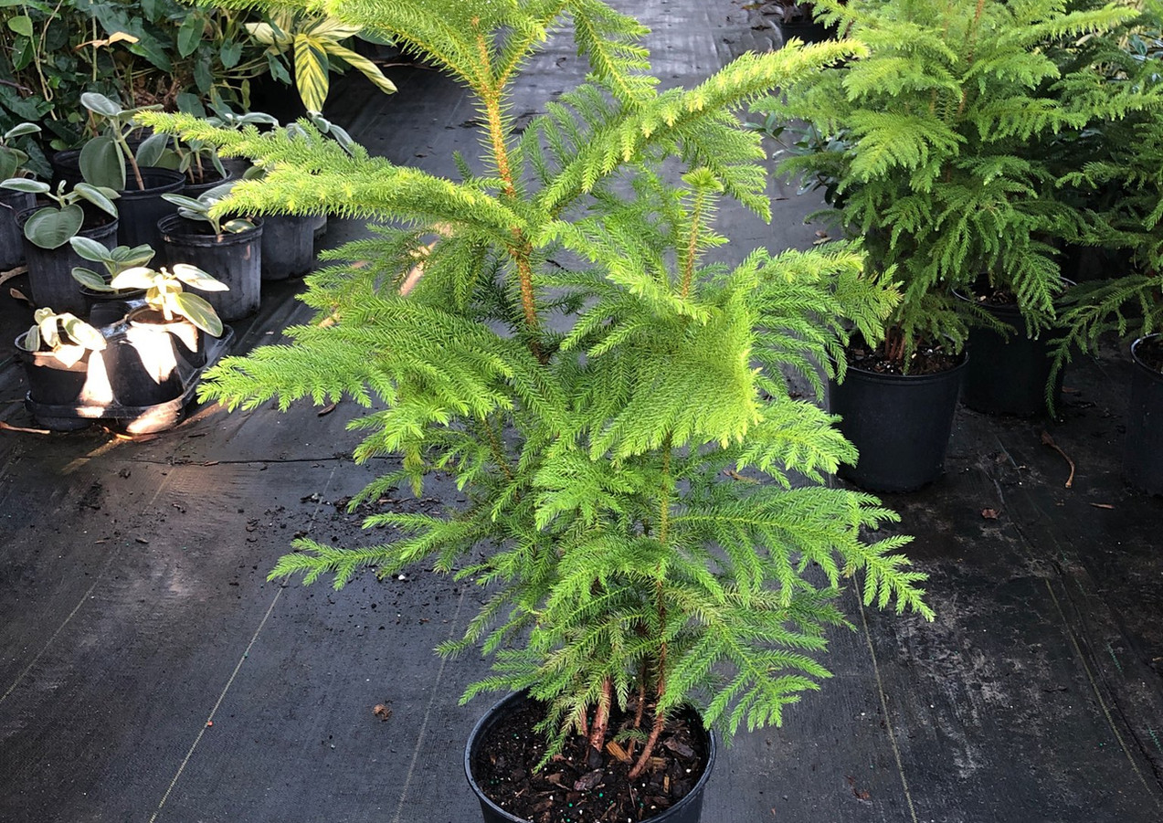 Norfolk Island Pine 7gal