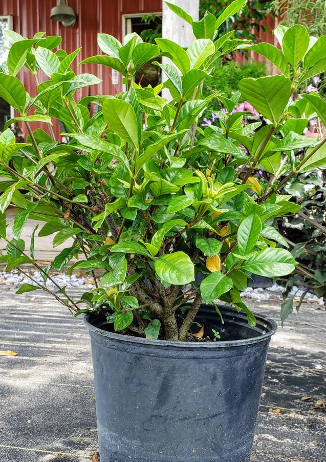 Gardenia Miami Supreme Bush (non grafted