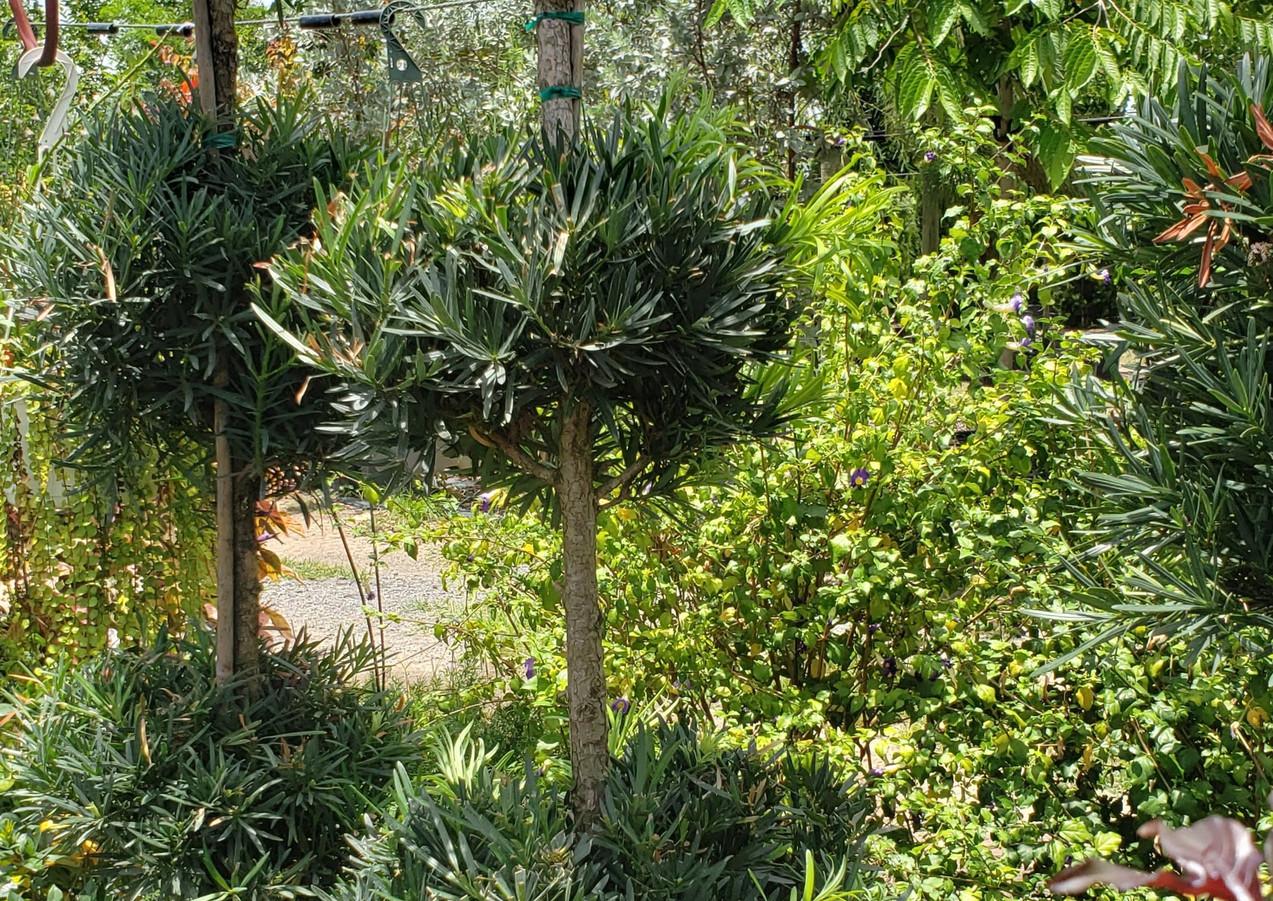 Podocarpus 3 Ball Topiary.jpg