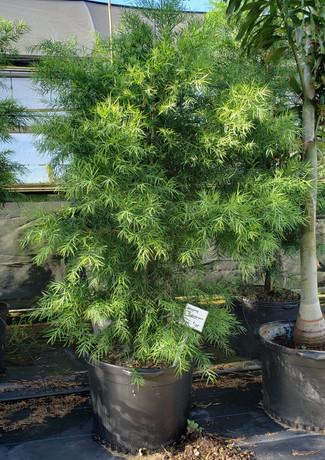 weeping podocarpus.jpg