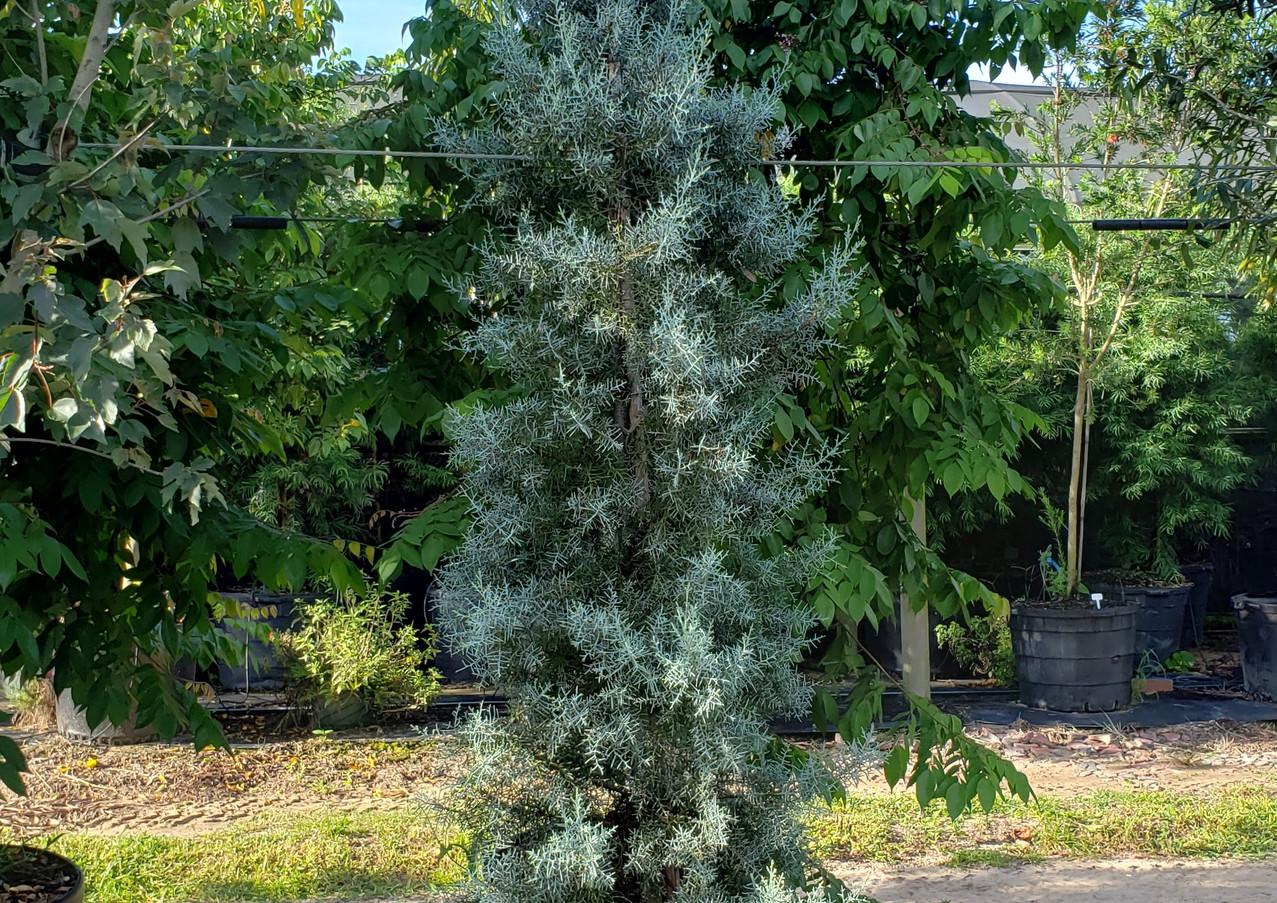 Arizona Blue Cypress - blue ice-.jpg