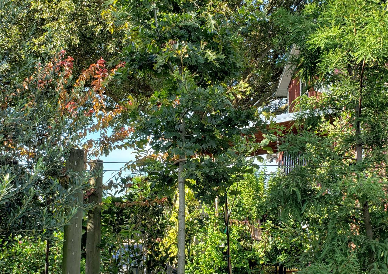 Nuttal Oak 30 gal.jpg