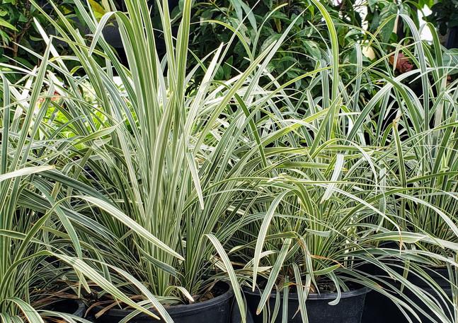 Liriope variegated aztec 1 gal.jpg