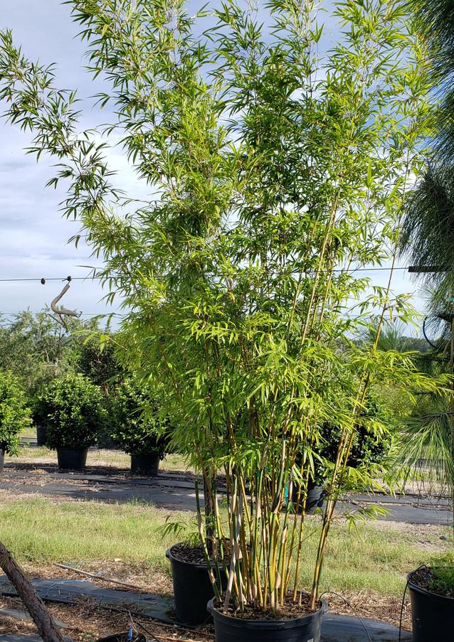 Graceful Bamboo MLT 30 gal.jpg
