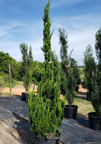 Torulosa juniper 30 gallon.jpg
