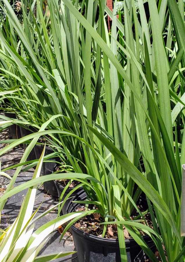 walking iris 3 gal.jpg
