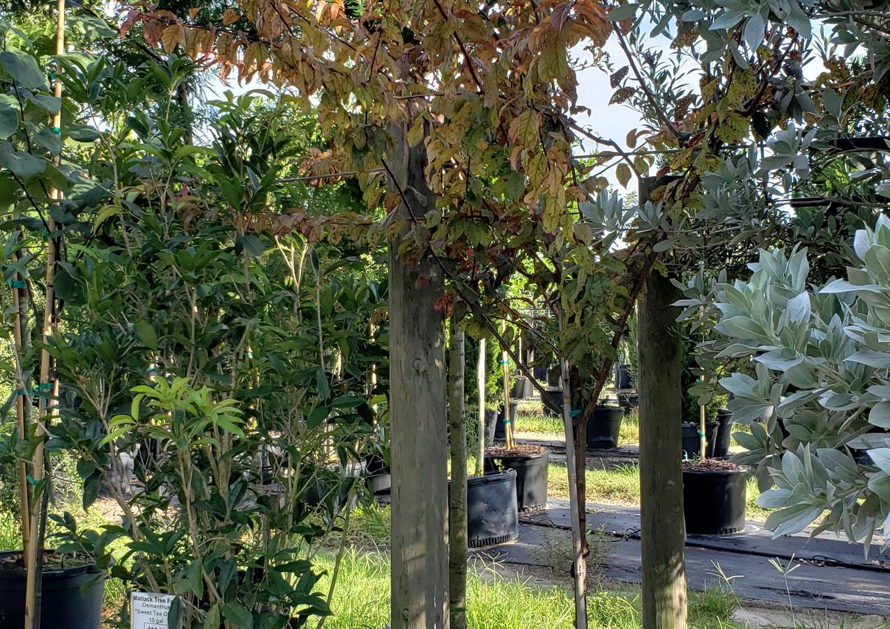 Purple Leaf Saint Lukes Plum 15 gal.jpg
