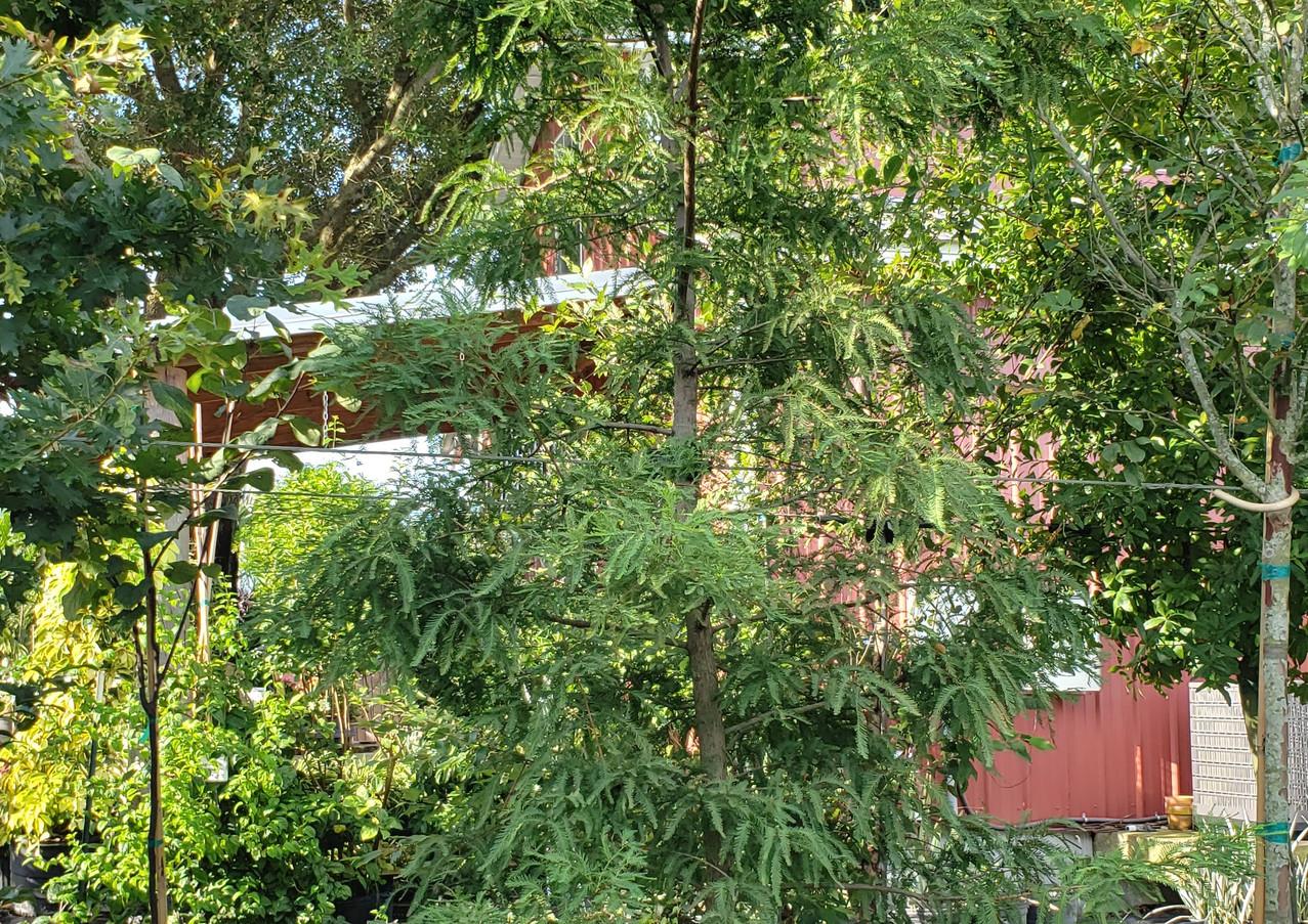 Bald Cypress 30 gal.jpg