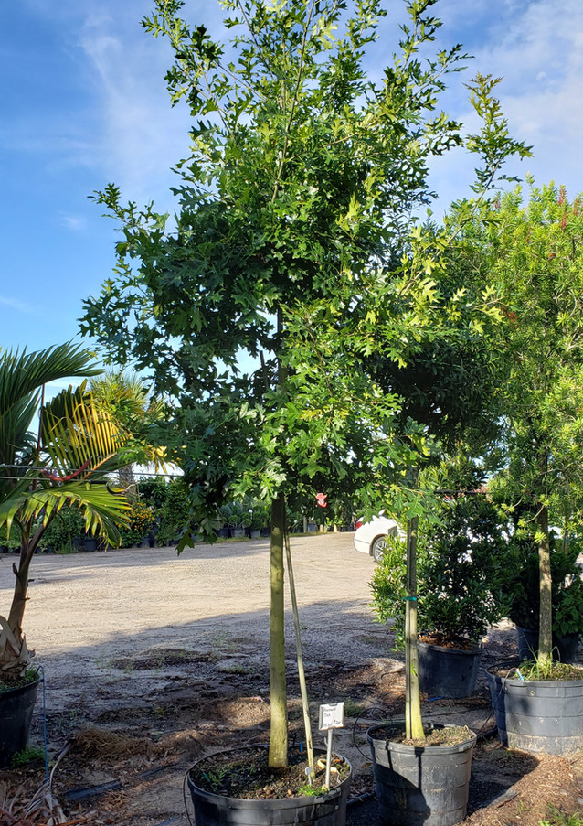Shumardi Oak 30 gal