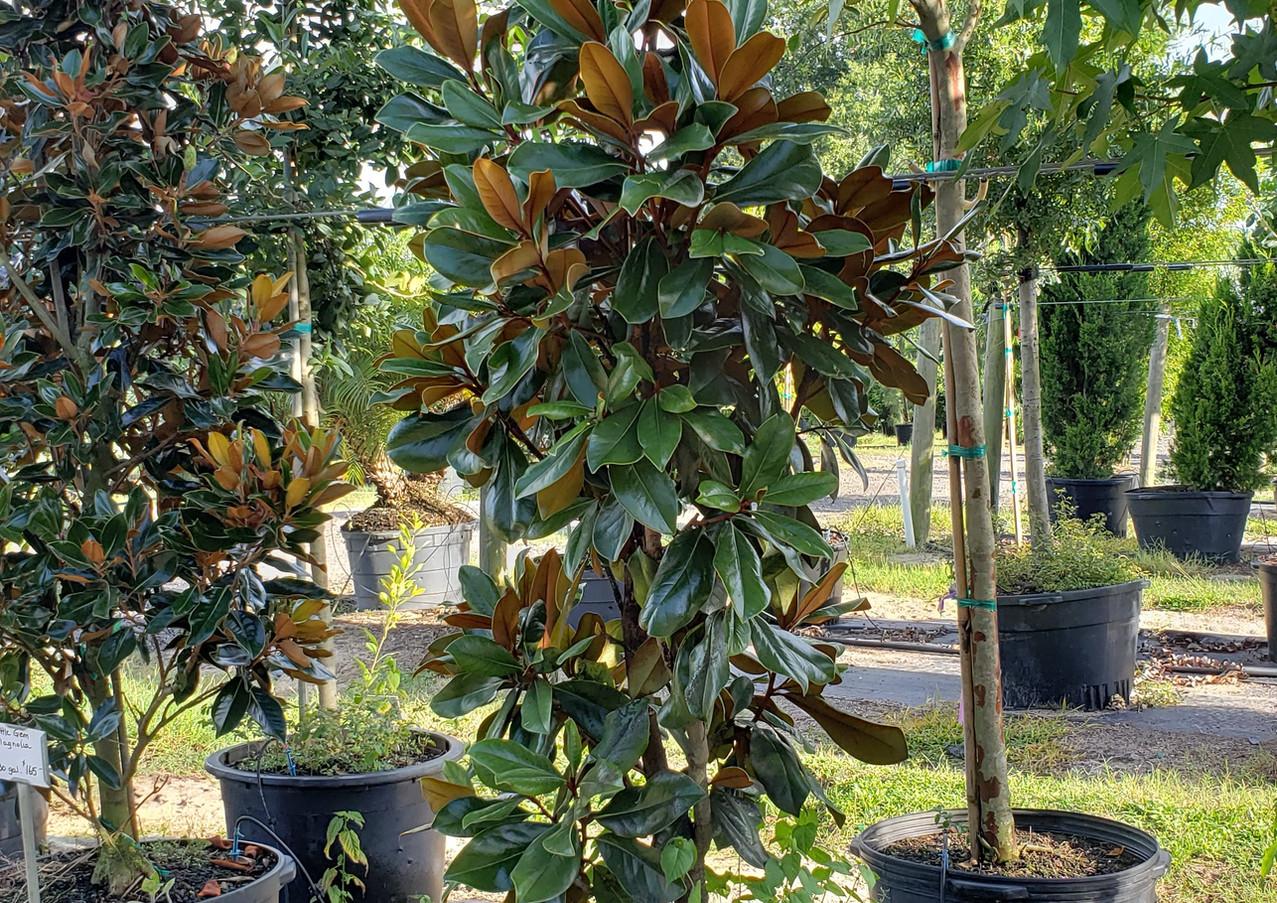 DD Blanchard Magnolia 30 gal.jpg