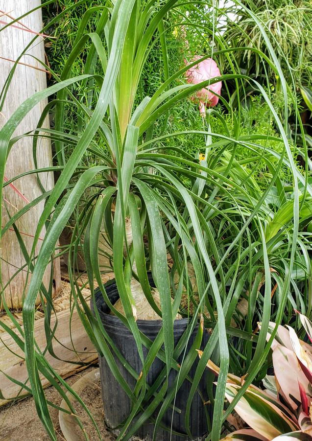 Ponytail Palm.jpg