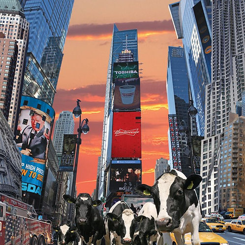 Cows in New york