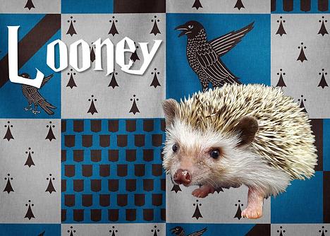 Looney_hedgehog.png