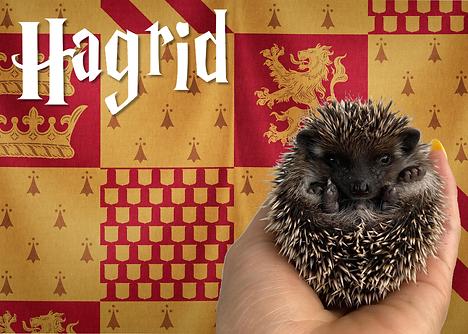 Hagrid_Hedgehog.png