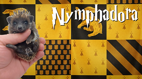 Nymphadora_Hedgehog.png