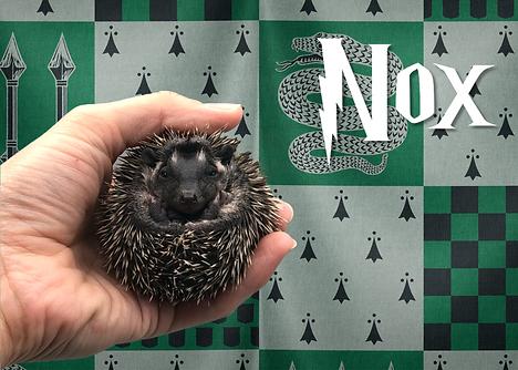 Nox_Hedgehog.png
