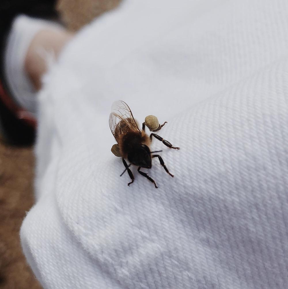 L'abeille LFDO