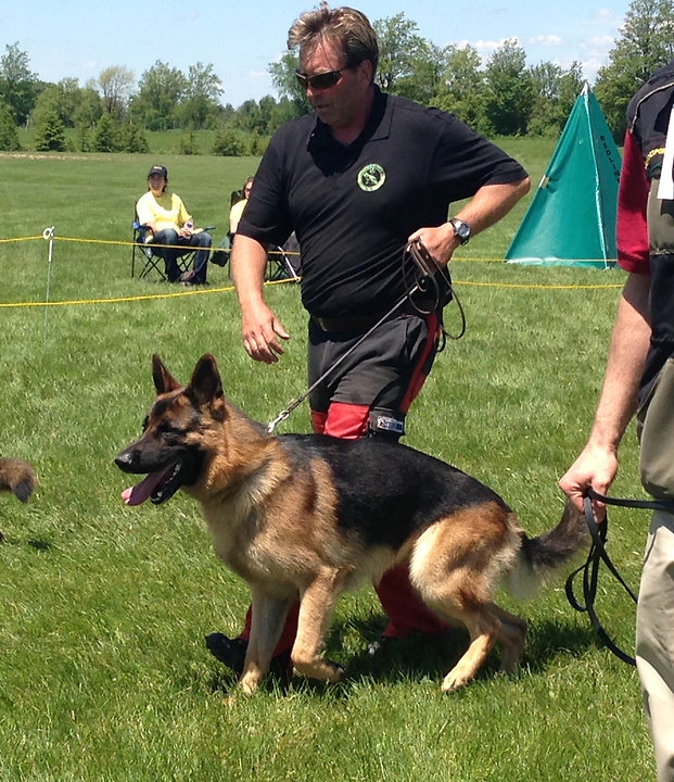 competing german shepherd dogs