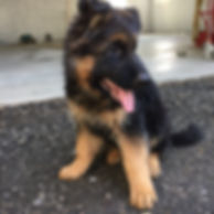 toronto german shepherd puppies
