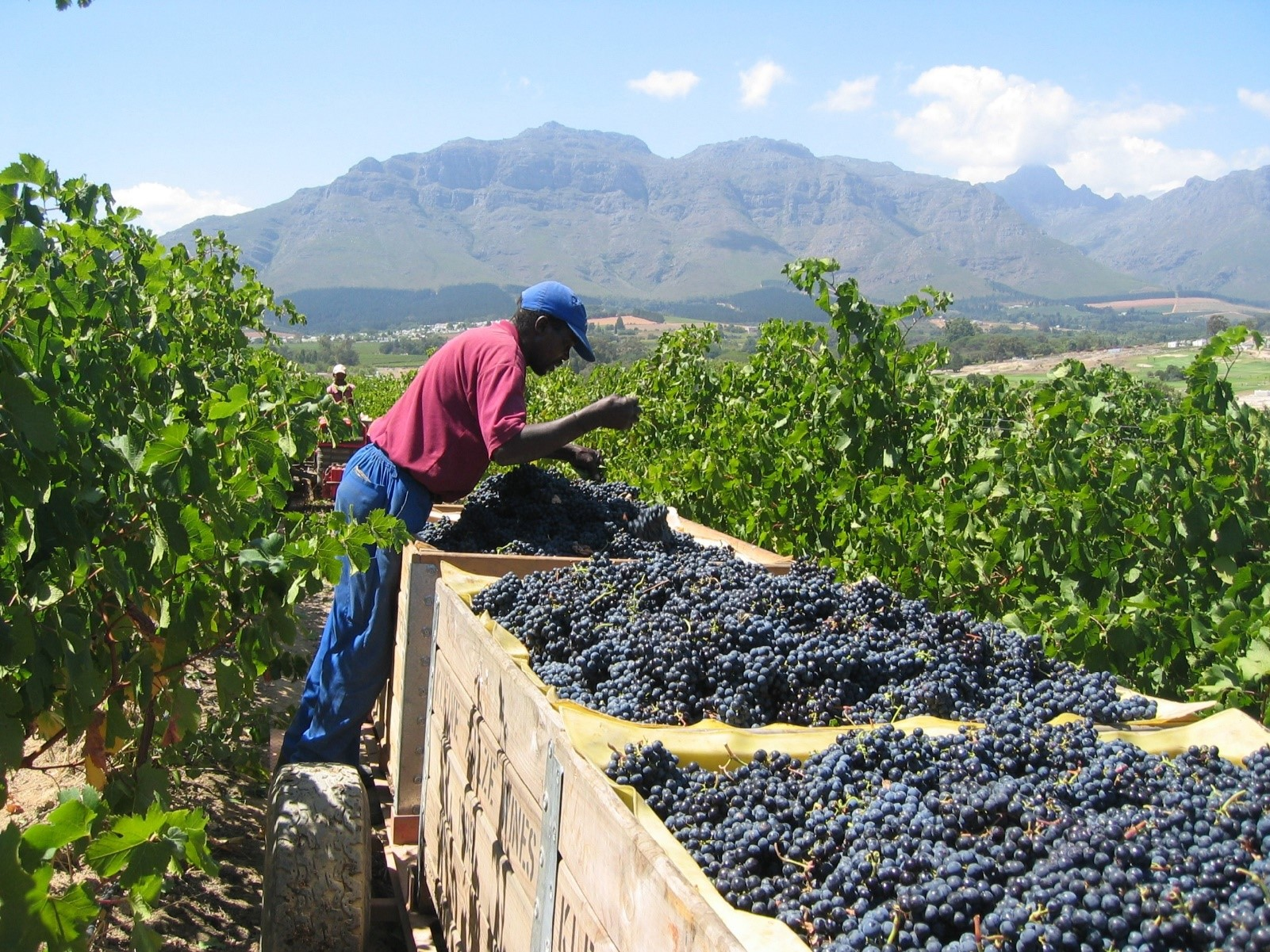 Grape harvest time at Kleine Zalze vineyard in Stellenbosch South Africa enjoy it all with Luxury Wi