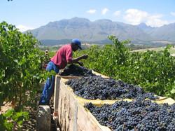 Grape harvest time at Kleine Zalze vineyard in Stellenbosch South Africa enjoy it all with Luxury Wi