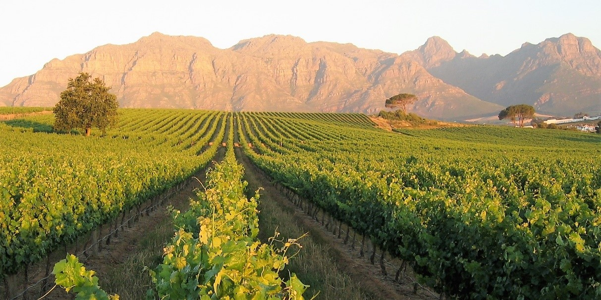 Panoramic vistas of Stellenbosch valley at Kleine Zalze vineyard in the Cape Winelands of South Afri