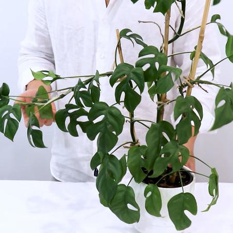 How to grow Rhaphidophora tetrasperma Propagation | Monstera minima, Mini monstera care Tips