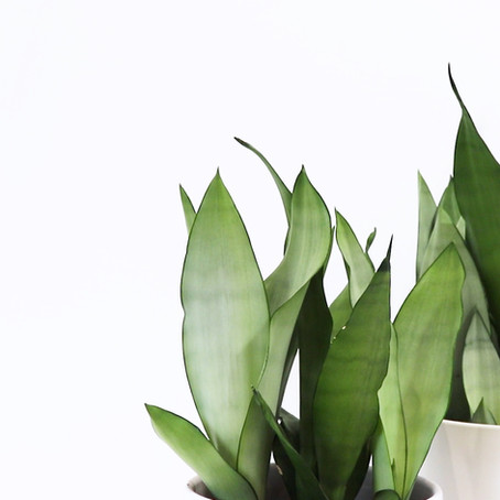 How to grow Sansevieria Trifasciata Moonshine how to care for snake plant moonshine sansevieria