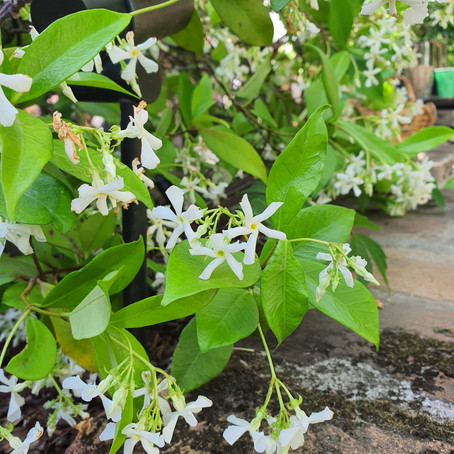 How to grow and care for Star jasmnie - Trachelospermum jasminoides care Tips