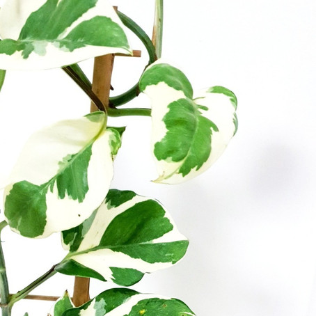 How to grow Snow queen pothos and how to care Epipremnum aureum