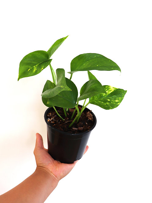 Devils ivy | Epipremnum aureum