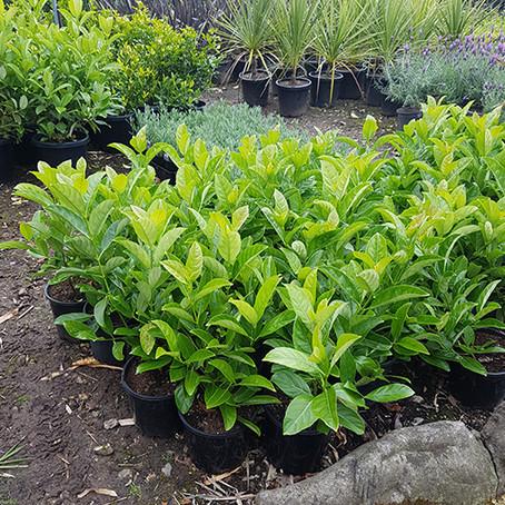 How to grow Viburnum odoratissimum and how to make Viburnum hedge for Garden
