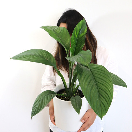 Plant to have in your room.. Peace lily care, How to grow Spathiphyllum how to care for Peace lilly