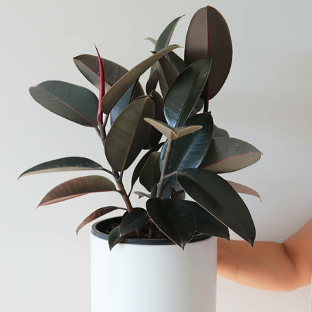 Rubber Plant Care and How to care for Burgundy Rubber Plant Indoor