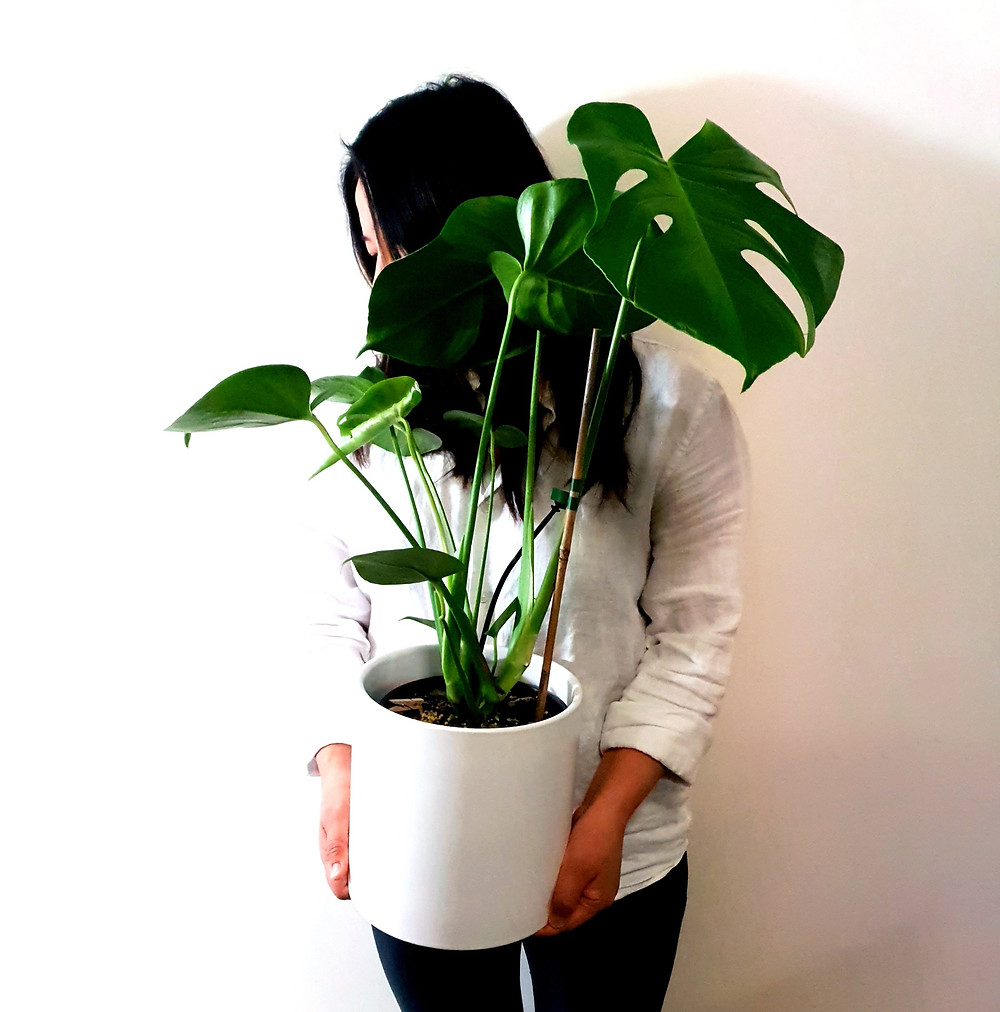 Monstera Deliciosa with Ceramic Pot