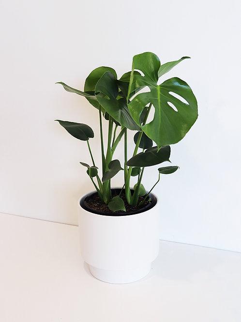 Monstera Fruit salad plant