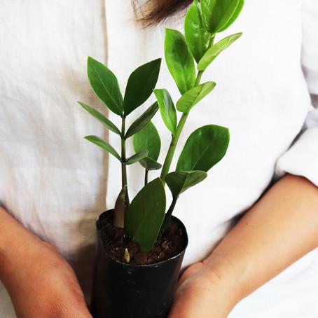 How to grow and care Zanzibar Gem Zz Plant