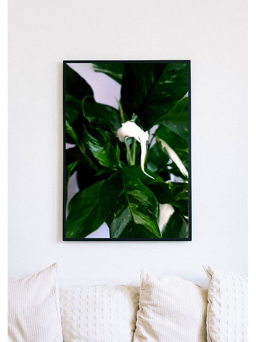 Variegated Peace lily Picture 1