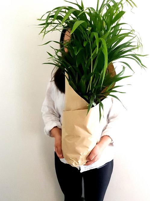 Golden Cane Palm | Dypsis