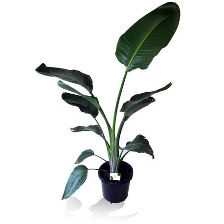 How to grow Strelitzia nicolai for indoors   Grow White Birds of paradise at home
