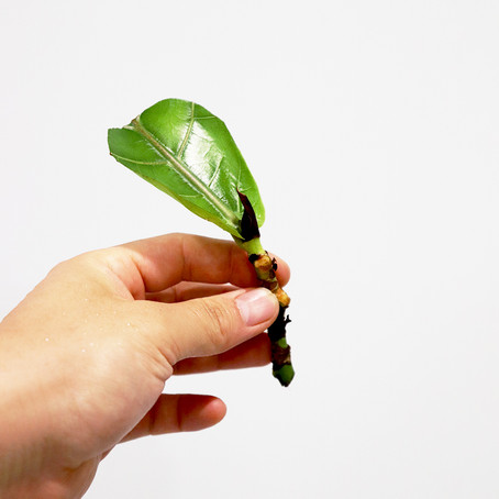 Fiddle leaf fig propagation, Propagating fig cuttings in water and soil   Plant Propagation