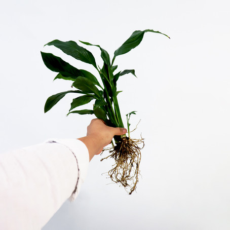 How to Propagate Peace lily in water and soil   Propagating peace lily plant