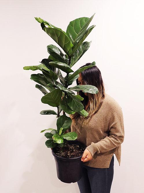 Fig Tree B
