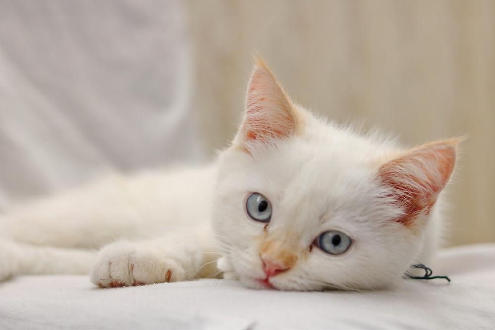 Kitten - TassieCat